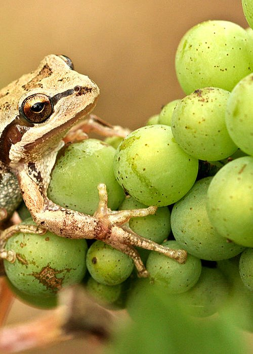 Amphibians Greeting Card featuring the photograph Catching A Ride On The Pinot by Jean Noren