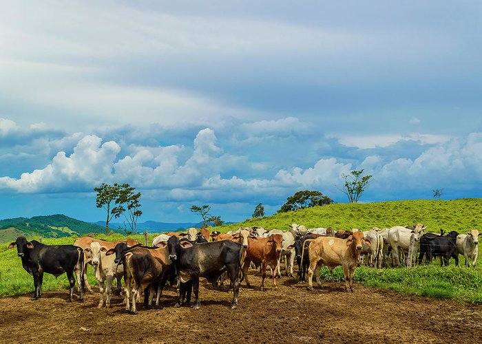 Grass Greeting Card featuring the photograph Cattle by Kcris Ramos