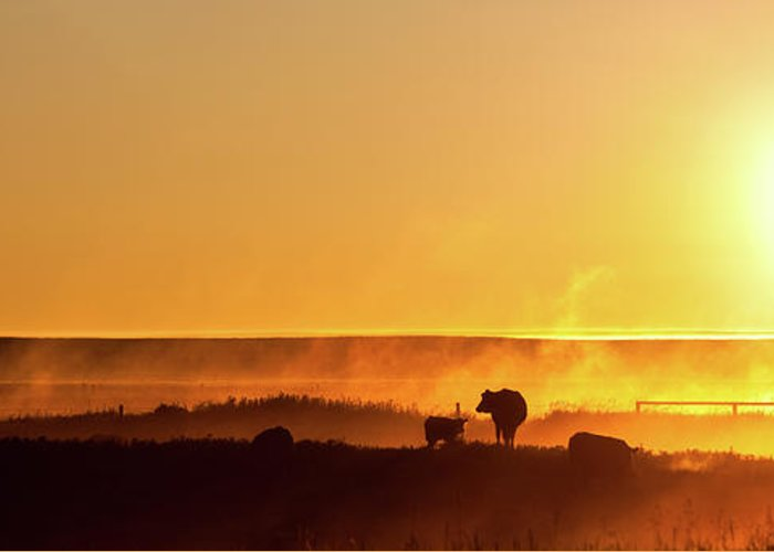 Scenics Greeting Card featuring the photograph Cattle Silhouette Panorama by Imaginegolf