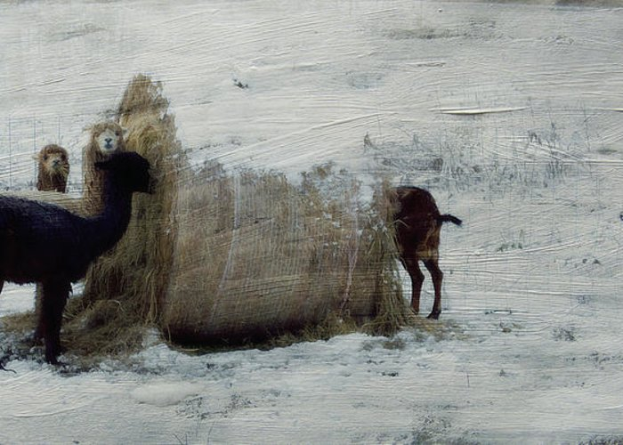 Sheep Greeting Card featuring the photograph Caught In The Act by Kathy Jennings