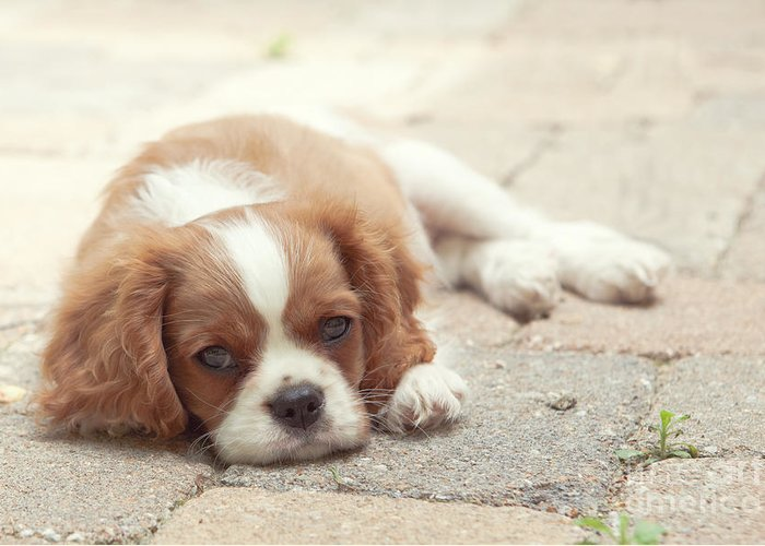 Cavalier Greeting Card featuring the photograph Cavalier Puppy by Kay Pickens