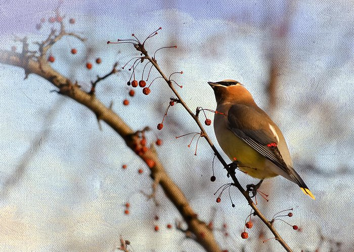Bird Greeting Card featuring the photograph Cedar Waxwing And Berries by Julie Palencia