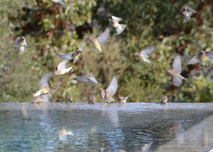 Pool Greeting Card featuring the photograph Cedar Waxwings by Jeff Chase