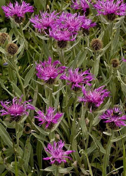 Alpine Knapweed Greeting Card featuring the photograph Centaurea Uniflora Ssp. Uniflora by Science Photo Library