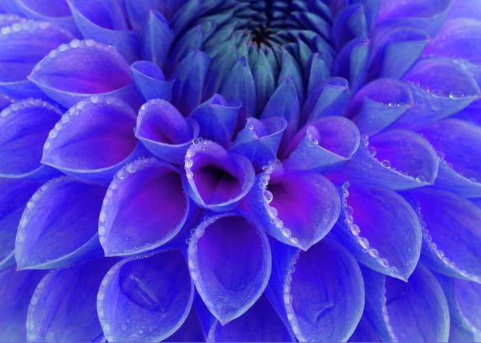 Haslemere Greeting Card featuring the photograph Centre Of Blue And Purple Dahlia Flower by Rosemary Calvert