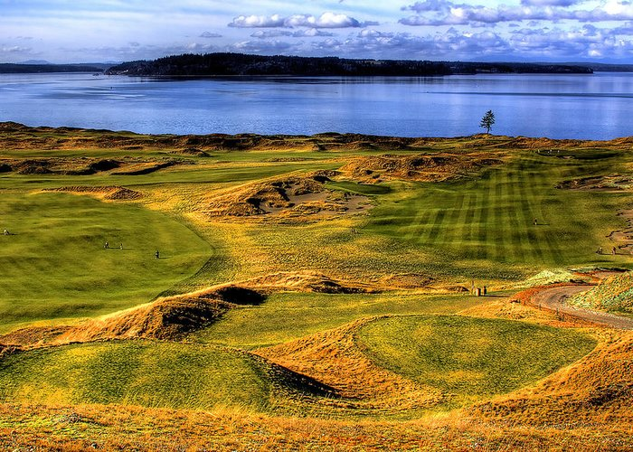 Chambers Bay Golf Course Greeting Card featuring the photograph Chambers Bay Lone Tree by David Patterson