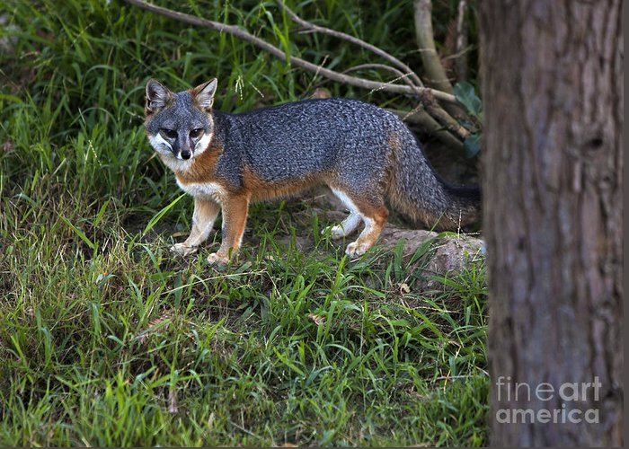 Channel Island Fox Greeting Card featuring the photograph Channel Island Fox by David Millenheft