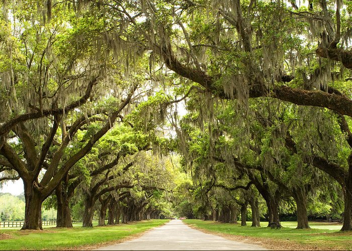 Live Oaks Greeting Card featuring the photograph Charleston Avenue Of Oaks by Stephanie McDowell