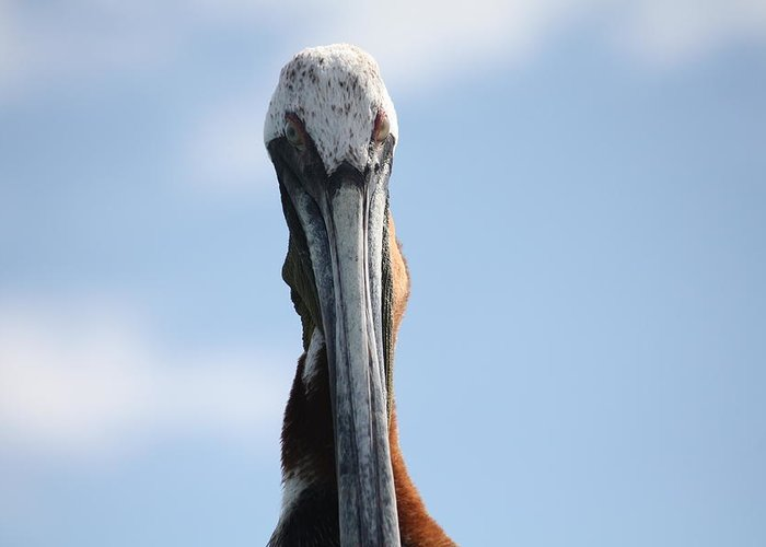 Pelican Greeting Card featuring the photograph Charlie by Paula Thomas