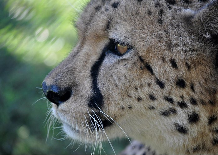 Cheetah Greeting Card featuring the photograph Charlie's View by Leanne Sullivan