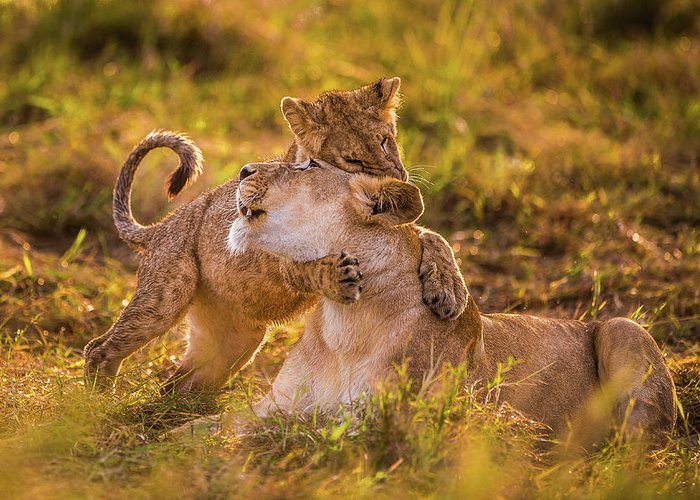 Baby Lions Greeting Cards