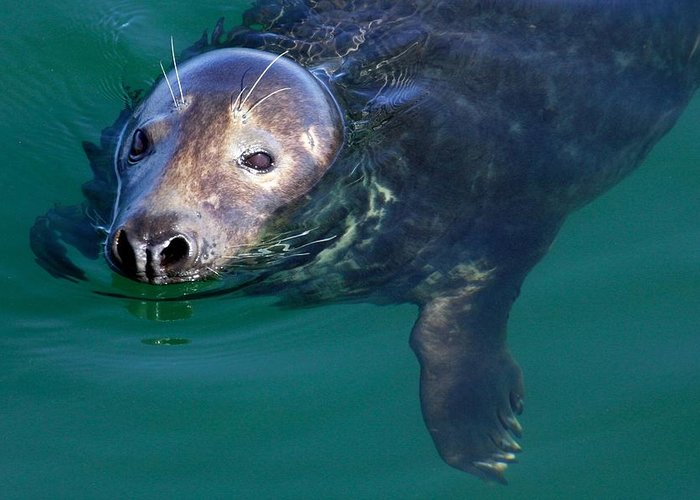 Seal Greeting Card featuring the photograph Chatham Harbor Seal by Stuart Litoff