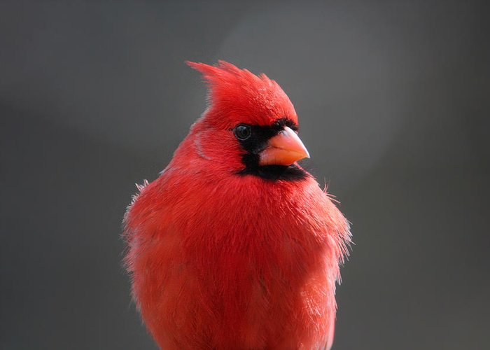 Cardinal Greeting Card featuring the photograph Check Me Out by Rob Blair