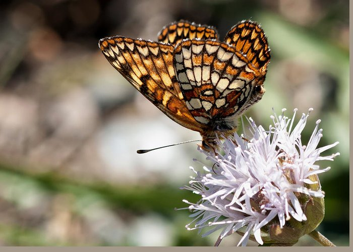 Butterfly Greeting Card featuring the photograph Checkered Butterfly by Betty Depee