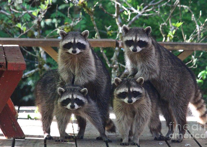 Animals Greeting Card featuring the photograph Cheerleading Raccoons by Kym Backland