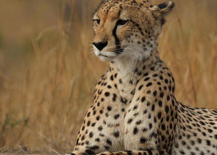 Cheetah Greeting Card featuring the photograph Cheetah by Anja Migliavacca - Doorten