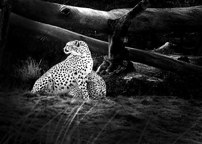 Cheetah Greeting Card featuring the photograph Cheetah by Camille Lopez