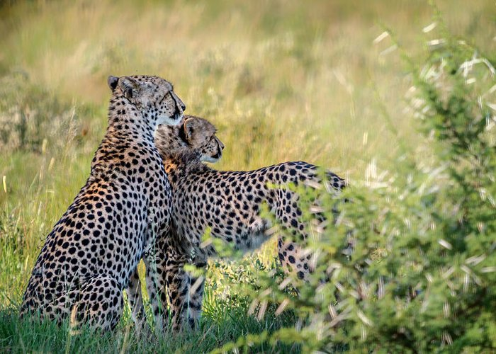 Africa Greeting Card featuring the photograph Cheetah Mother And Son by Sylvia J Zarco