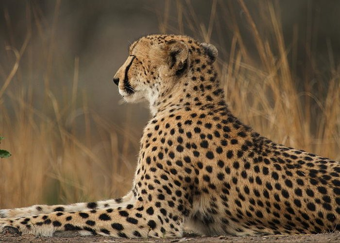 Cheetah Greeting Card featuring the photograph Cheetah South Africa by Anja Migliavacca - Doorten
