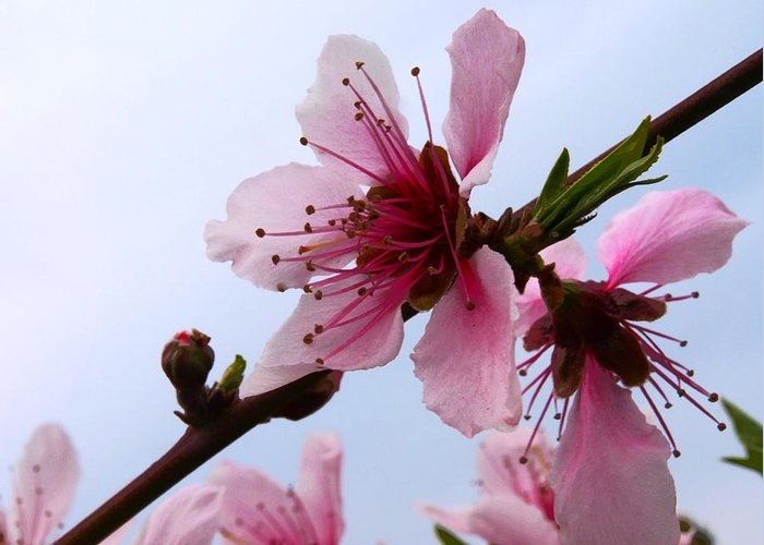 Japanese Cherry Tree Greeting Card featuring the photograph Cherry Blossom by Camille Lopez