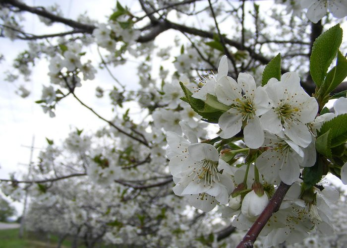 Cherry Blossoms Greeting Card featuring the photograph Cherry Blossom by Ciara Stumm
