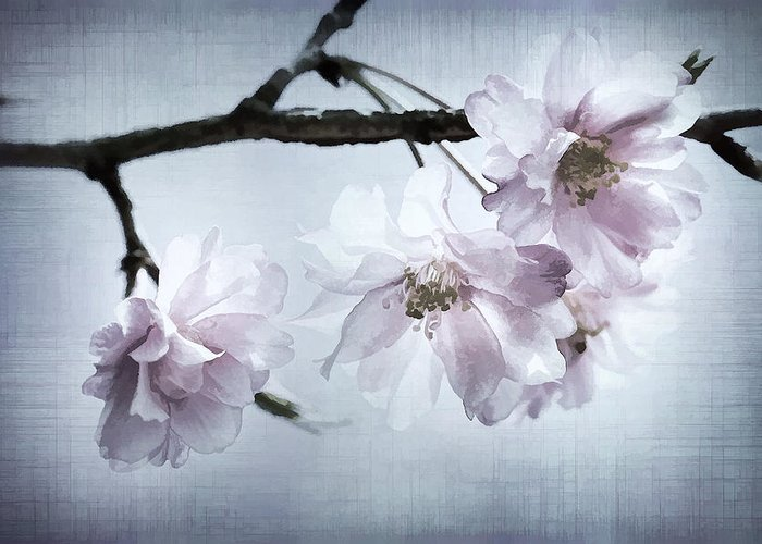 Cherry Greeting Card featuring the photograph Cherry Blossom Sweetness by Kathy Clark
