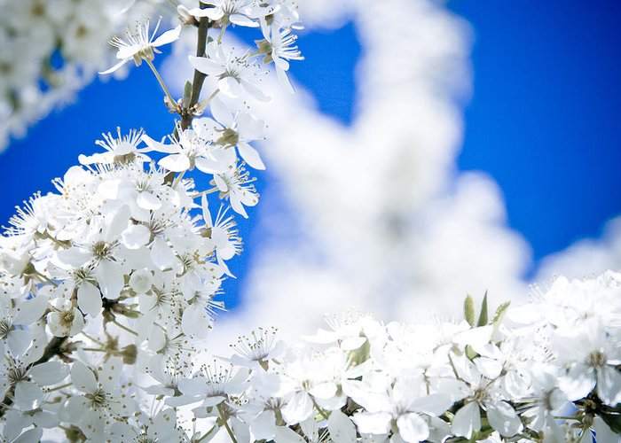 Flowers Greeting Card featuring the photograph Cherry Blossom With Blue Sky by Raimond Klavins