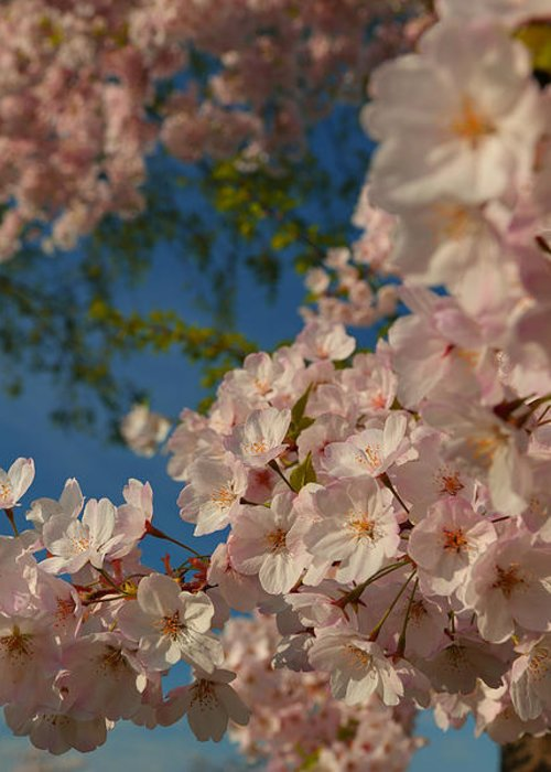 Architectural Greeting Card featuring the photograph Cherry Blossoms 2013 - 035 by Metro DC Photography