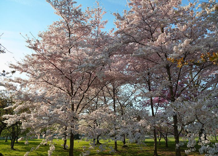 Architectural Greeting Card featuring the photograph Cherry Blossoms 2013 - 049 by Metro DC Photography