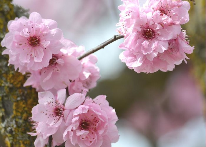 Cherry Blossoms Greeting Card featuring the photograph Cherry Blossoms by P S