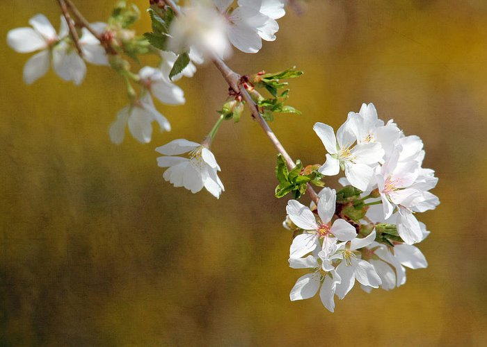 Cherry Blossoms Greeting Card featuring the photograph Cherry Blossoms by Trina Ansel