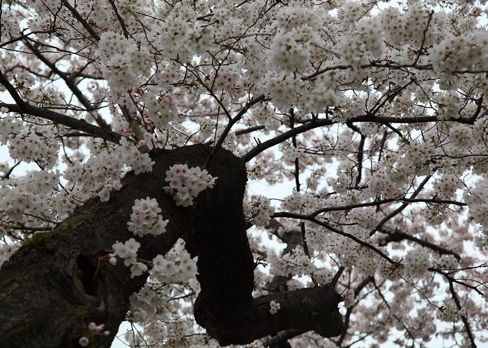 America Greeting Card featuring the photograph Cherry Blossoms - Washington Dc - 0113114 by DC Photographer