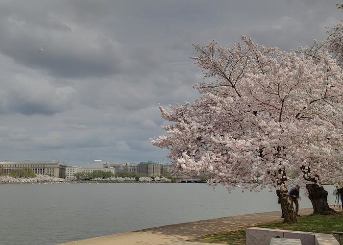 America Greeting Card featuring the photograph Cherry Blossoms - Washington Dc - 011362 by DC Photographer