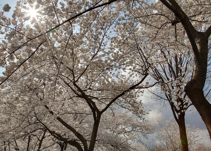 America Greeting Card featuring the photograph Cherry Blossoms - Washington Dc - 011375 by DC Photographer