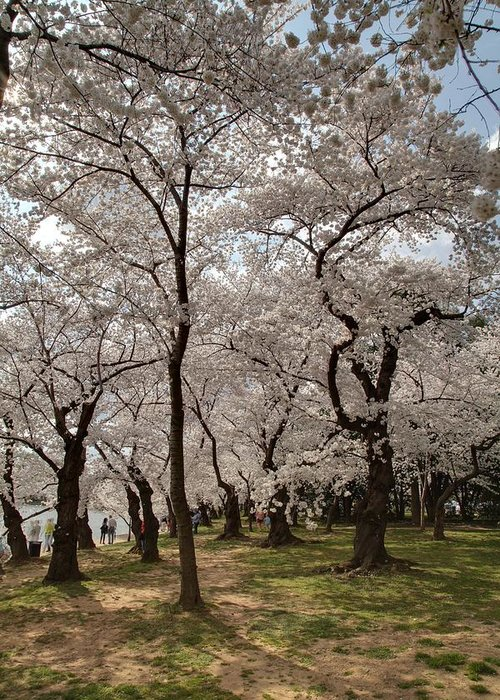 America Greeting Card featuring the photograph Cherry Blossoms - Washington Dc - 011378 by DC Photographer
