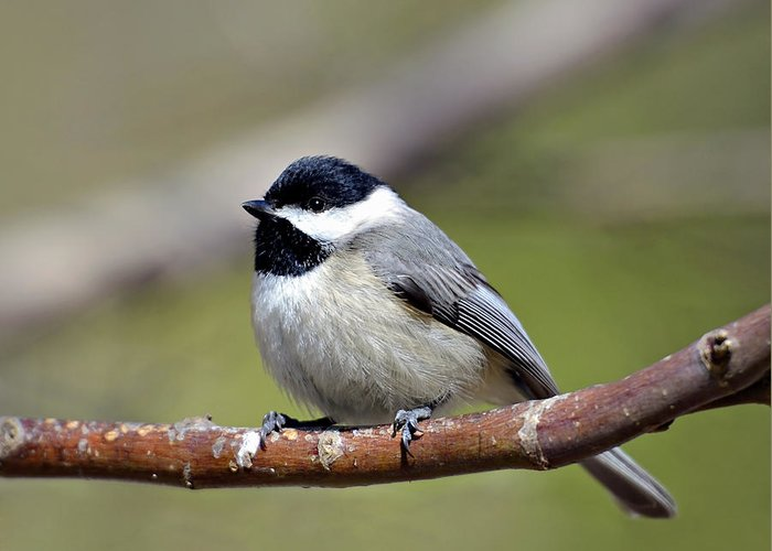 Chickadee Greeting Card featuring the photograph Chickadee by Susan Leggett