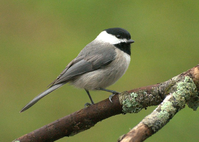 Bird Greeting Card featuring the photograph Chickadee by Theron Clore