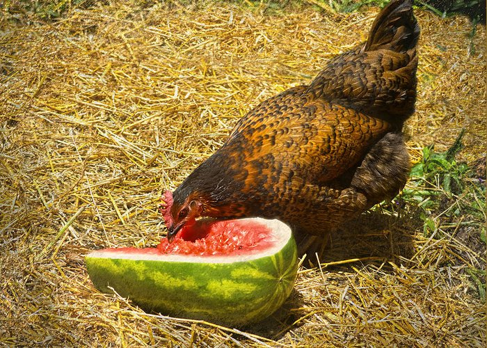 Mahogany Favorolle Chicken Greeting Card featuring the photograph Chicken And Her Watermelon by Sandi OReilly