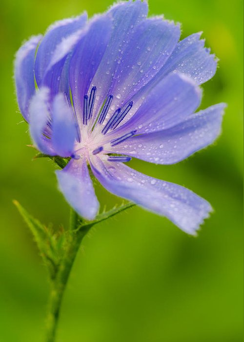 Chicory Greeting Card featuring the pyrography Chicory With Morning Dew by Anthony Heflin