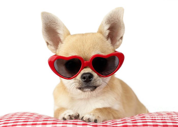 Chihuahua Greeting Card featuring the digital art Chihuahua In Heart Sunglasses Dp813 by Greg Cuddiford