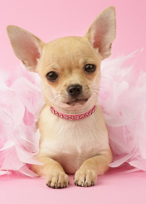 Puppy Vertical Chihuahua Puppies Lying Chihuahuas Greeting Card featuring the photograph Chihuahua With Feather Boa by Greg Cuddiford