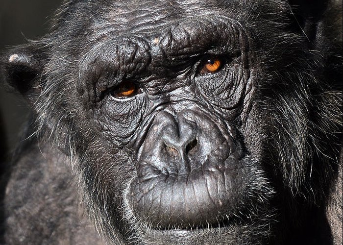 Chimp Greeting Card featuring the photograph Chimpanzee Portrait by Aleksandar Mijatovic