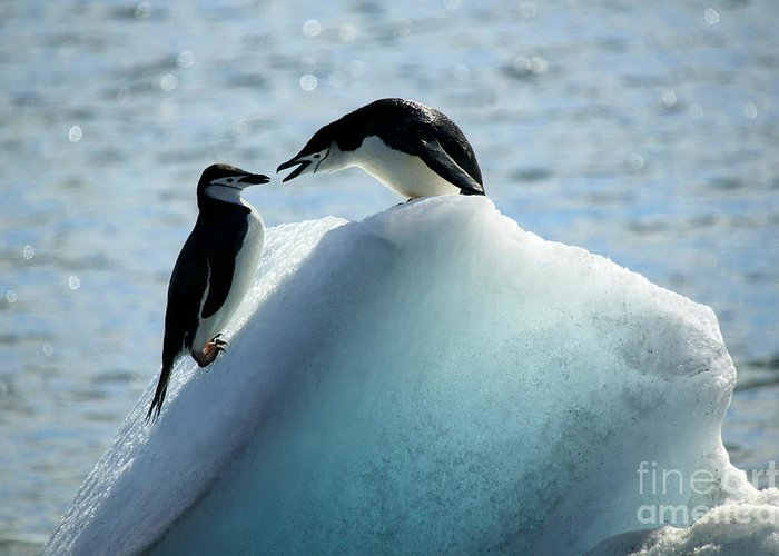 Penguins Greeting Card featuring the photograph Chinstrap Penguins On Iceberg by Rosemary Calvert