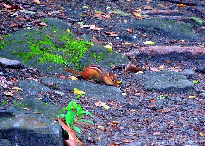 Gorge Metro Park Greeting Card featuring the photograph Chipmunk Scrounging Amoung The Rocks by Matthew Peek