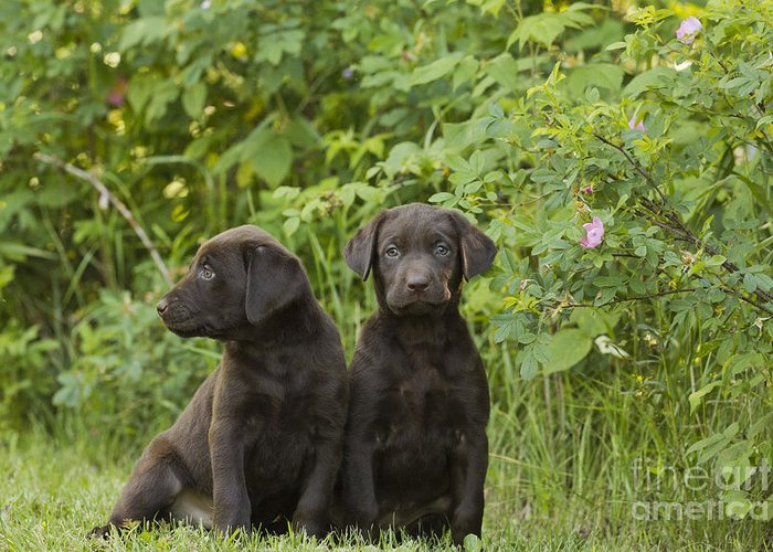 Nature Greeting Card featuring the photograph Chocolate Labrador Retriever Puppies by Linda Freshwaters Arndt