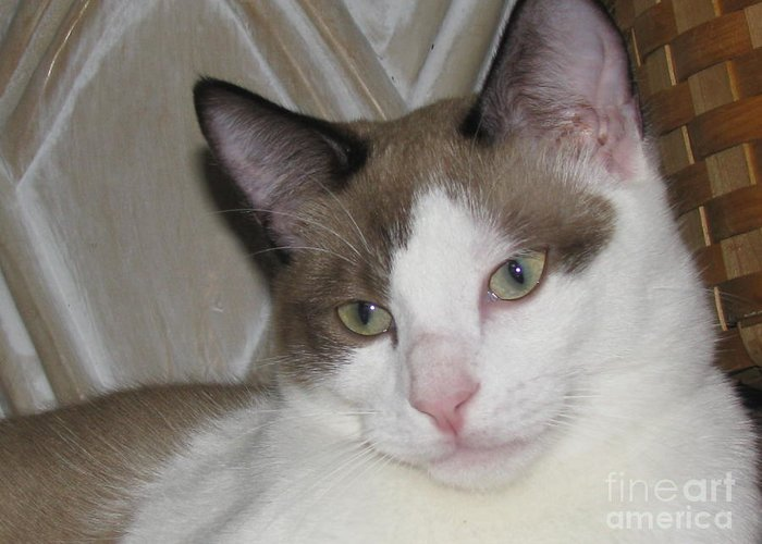 Chocolate Mink Bicolor Tonkinese Burmese Cat Kitten Greeting Card
