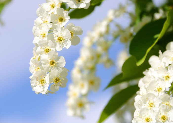 Choke Greeting Card featuring the photograph Choke Cherry In Bloom by Gary Whitton