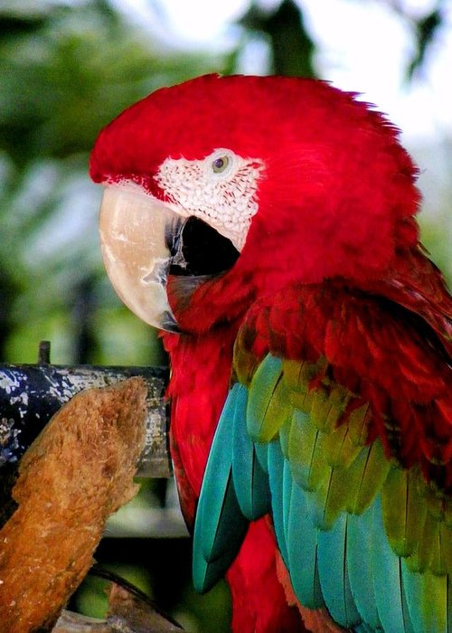 Parrot Greeting Card featuring the photograph Chowtime by Karen Wiles