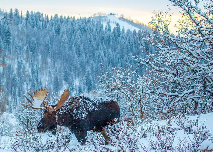 Moose Greeting Card featuring the photograph Christie Moose by Kevin Dietrich