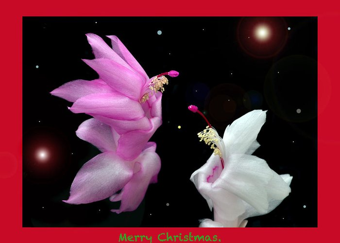 Christmas Card Greeting Card featuring the photograph Christmas Cactus Fantasy by Terence Davis